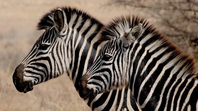 dvě zebry