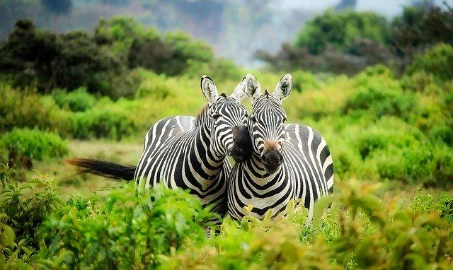 volně žijící zebry
