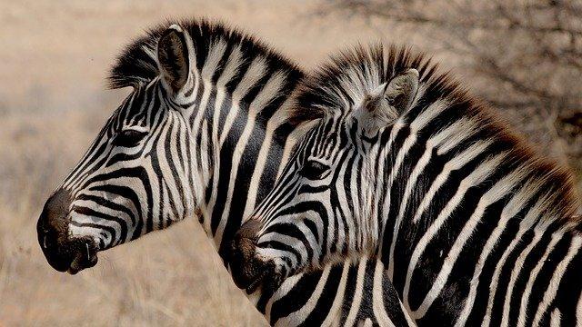 Zebra, královna savany