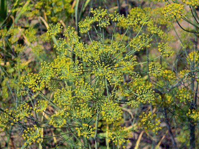 rostlina kopru