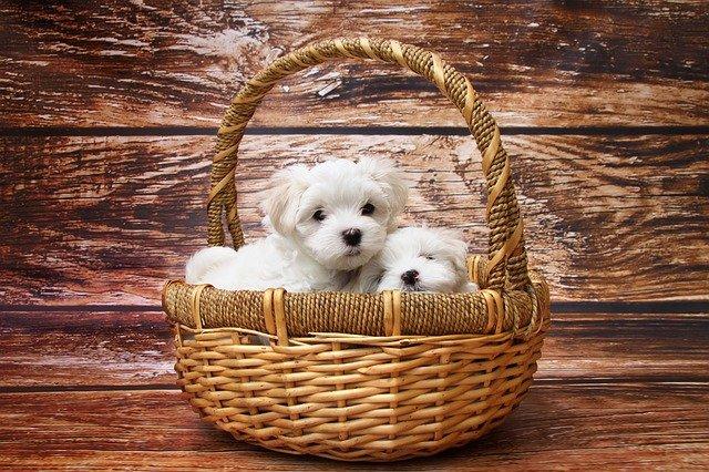 štěňata v košíku