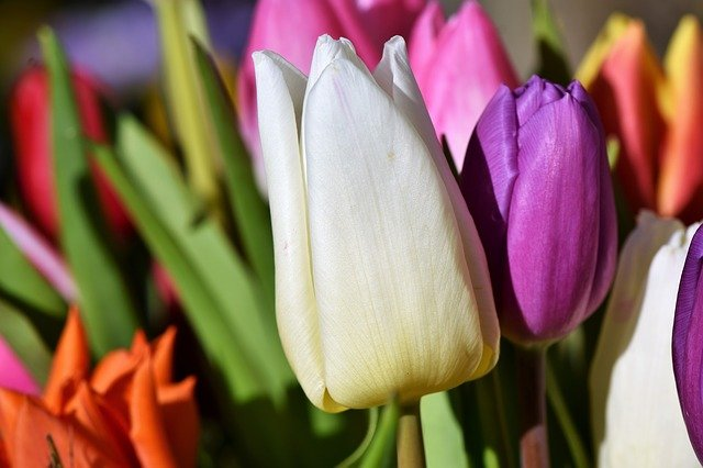 nerozkvetlý tulipán