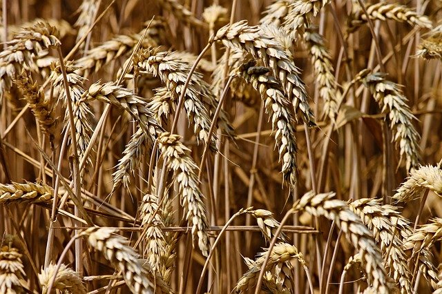 klasy pšenice